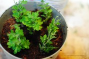 Do not overcrowd your pot with cuttings. Allow room for air to circulate, as shown.