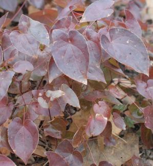 epimedium in winter