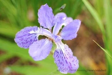 Iris tectorum 3