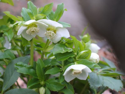white hellebore flowering