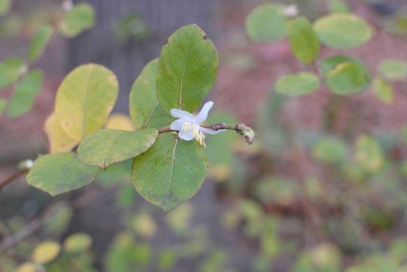 winter honeysuckle flower