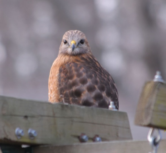 broad winged hawk 2