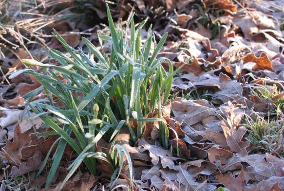 daffodil frost