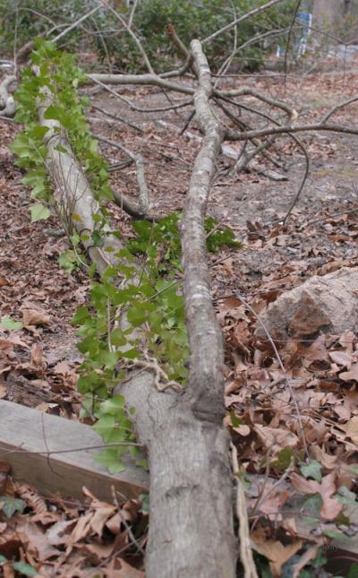 fallen tree length 2
