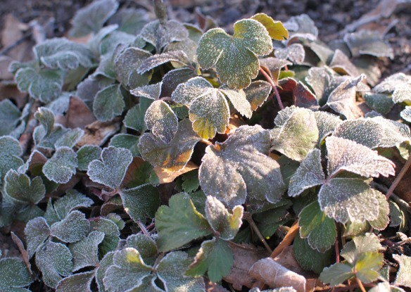 frosted waldsteinia 1