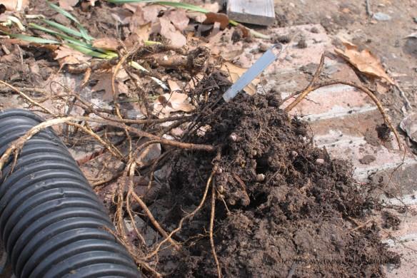 baptisia roots
