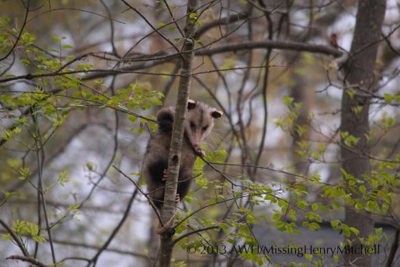 cranky possum