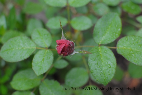 darcey bussell bud