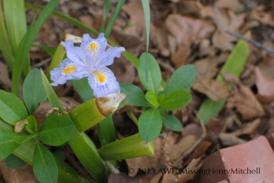 Iris japonica 'Eco Easter'