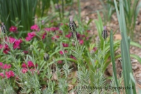 lavender dianthus