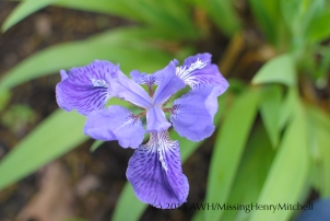 Iris tectorum, Japanese roof iris