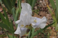 Intermediate iris 'Higgledy Piggledy' (bearded iris) blooms in mid-April in my Zone 7b garden.