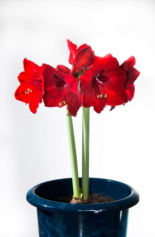 By Dwight Sipler from Stow, MA, USA (Amaryllis  Uploaded by Jacopo Werther) [CC-BY-2.0 (http://creativecommons.org/licenses/by/2.0)], via Wikimedia Commons