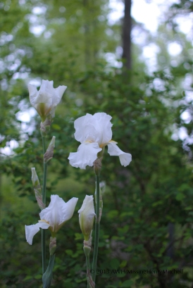 A cluster of my tall white bearded iris, which bloom in mid-April to mid-May in Zone 7b. The flowers are massive and often weigh down the stems, which are substantial.