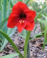 Amaryllis 'Red Lion' in bloom in the garden