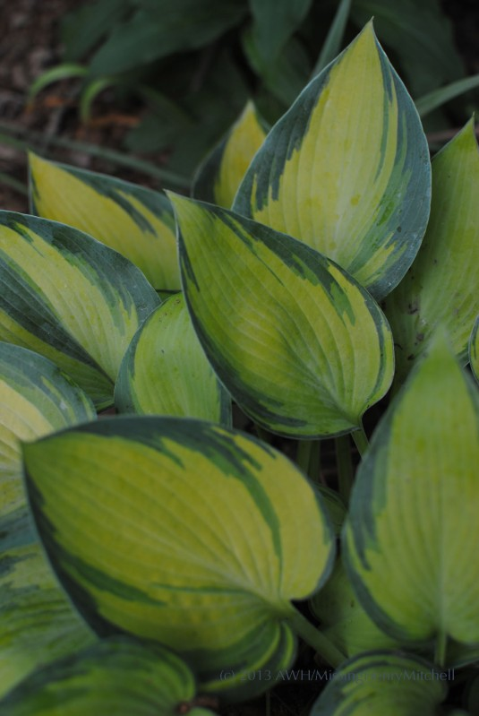 hosta june in sun