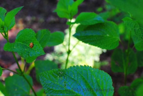 ladybug on salvia