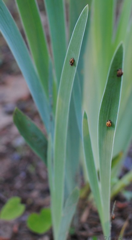 ladybugs on iris foliage
