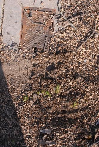 Planting technique, Test Subject B: Kick gravel back over seedlings.