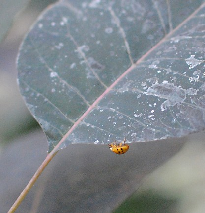 Ladybug on Cotinus coggygria, smokebush