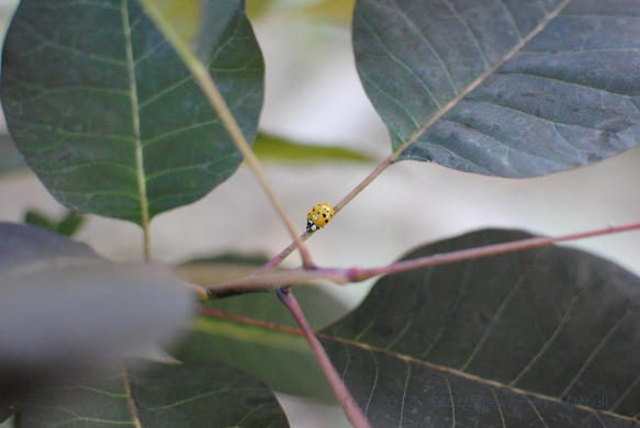 Ladybug crawling on Cotinus coggygria 'Grace'