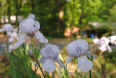 This iris is tall and mostly white, with flushes of pale blue. It blooms in early to mid May. Maybe 'Helen McGregor'?