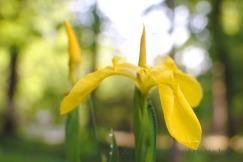 Yellow flag; Iris pseudacorus