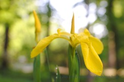 Yellow flag; Iris pseudacorus