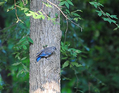 Juvenile Eastern bluebird, Sialia sialis