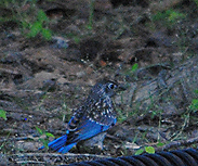 unidentified blue bird