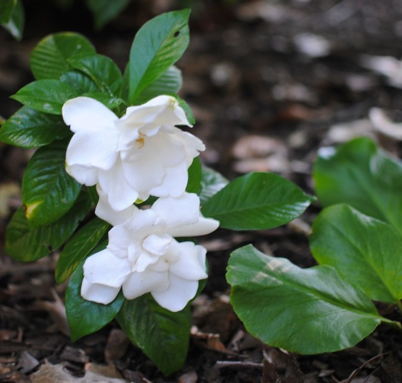 how to make gardenias bloom