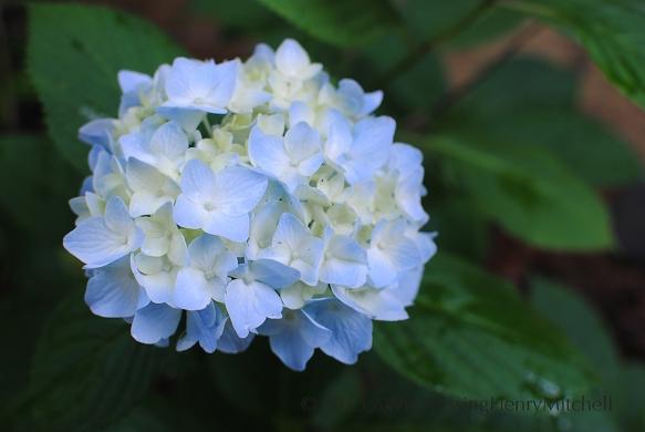 hydrangea endless summer 2
