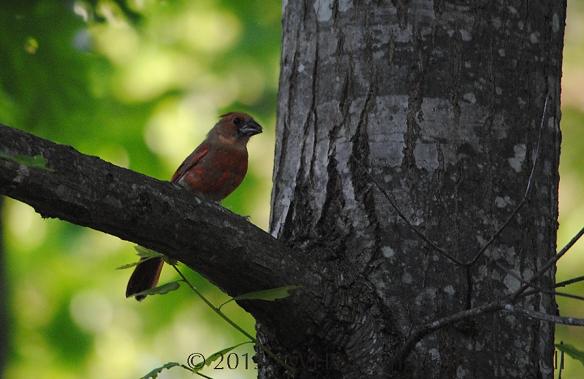 marbled red bird