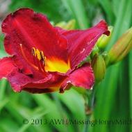 Hemerocallis (daylily) 'Prince Redbird'