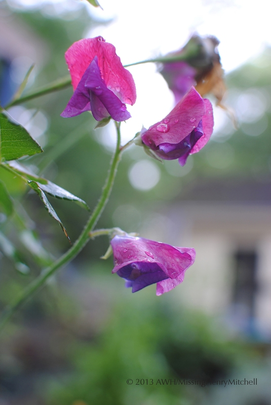 sweet pea Lathyrus odoratus