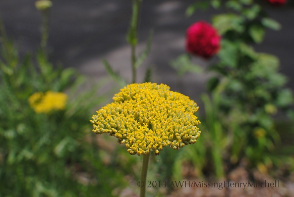 gold yarrow Achillea sp.