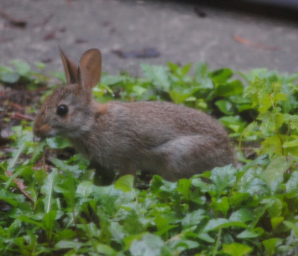 bunny eating dandelions