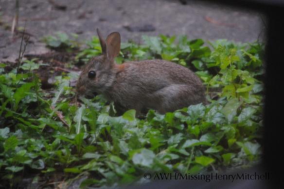 bunny lunching on dandelions