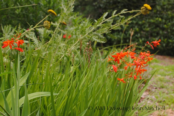 crocosmia and yarrow