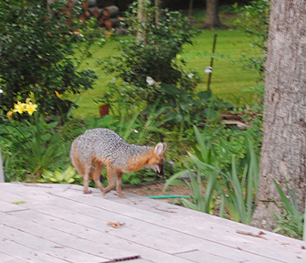 gray fox right side