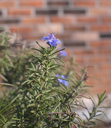 rosemary in flower