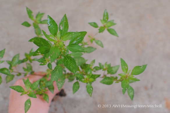 three seeded mercury acalypha virginica