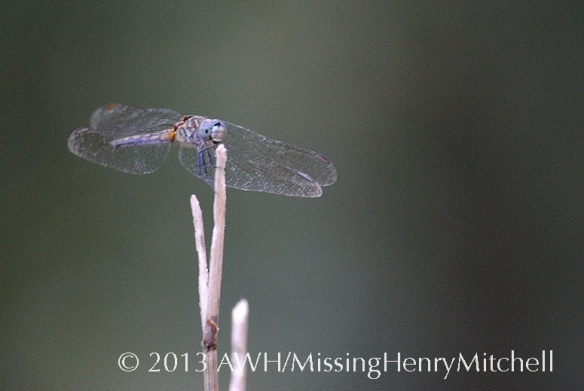 blue dragonfly, species unknown