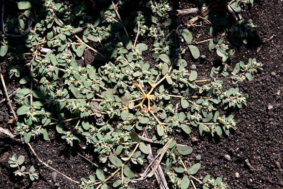 spotted spurge, photo courtesy wikipedia