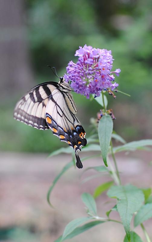 swallowtail profile