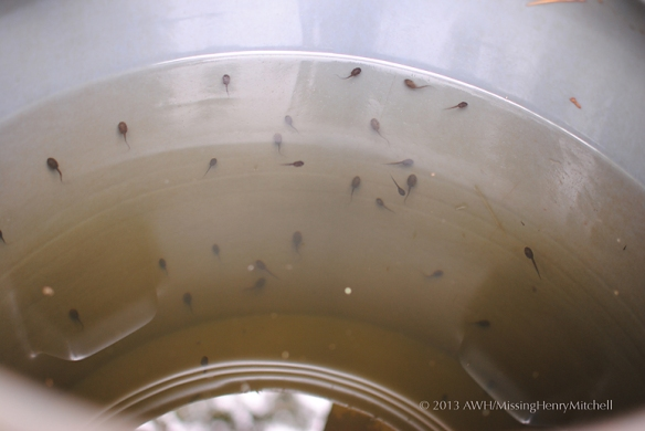 tadpoles in rain barrel