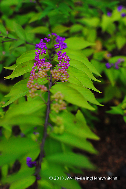 Beautyberries, Callicarpa americana