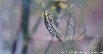 papilio polyxenes caterpillar on bronze fennel