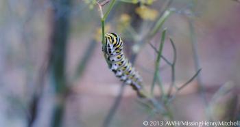 papilio polyxenes caterpillar on bronze fennel