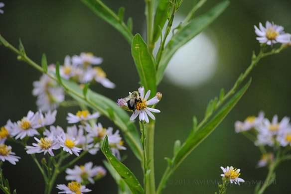 bee collecting pollen from aster